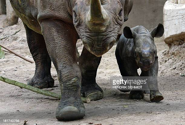 A twoweek old Rhino and its mother walk around their enclouser at the zoo in Leipzig eastern Germany on September 24 2013 AFP PHOTO / DPA / HENDRIK...