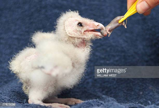 A twoweekold Barn Owl chick is fed a baby mouse as he is handraised at the Lone Pine Koala Sanctuary in Brisbane 09 November 2007 The yettobenamed...