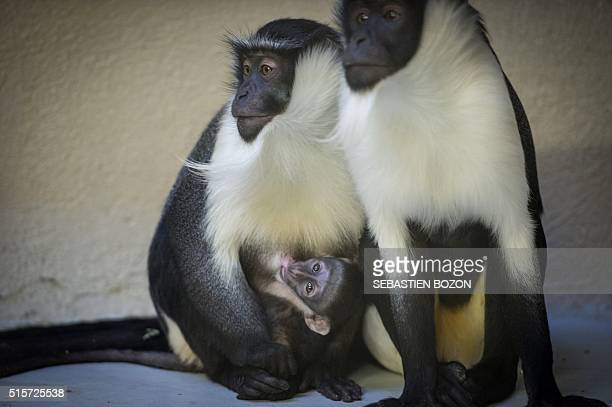 A twoweekold monkey cub of the Cercopithecus roloway family one of the 25 most endangered primate species in the world is pictured with its mother...