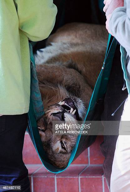 A twoyear old Asiatic lion boy 'Kamal' is transported by local zoo keepers in front of the lion garden at Budapest Zoo and Botanic Garden on March 25...