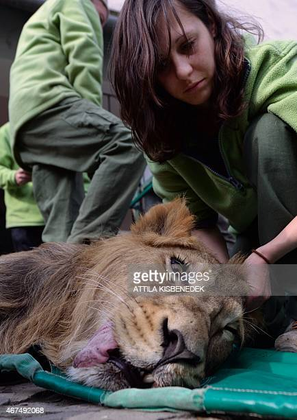A twoyear old Asiatic lion boy 'Szimba' is examined by zoo doctor Viktoria Koroknai in front of the lion garden at Budapest Zoo and Botanic Garden on...