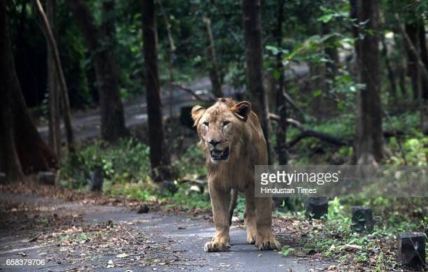 Twoyear old lion cubs Jespa and Gopa frolic in water as they stepped out alone in Lion Safari for the first time in Sanjay Gandhi National Park The...