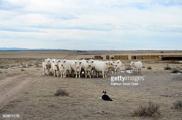 Twoyearold border collie Slik lies down once the herd of Charolais cattle comes to a full stop Bob Wagner breeds and trains border collies who herd...