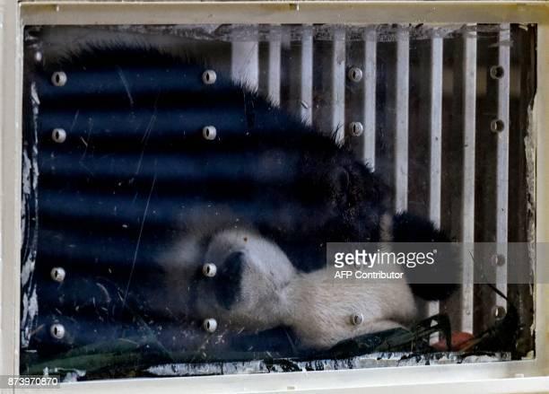 Twoyearold female giant panda cub Nuan Nuan is seen inside her enclosure before departing for Chengdu at the MAB Cargo near Kuala Lumpur...