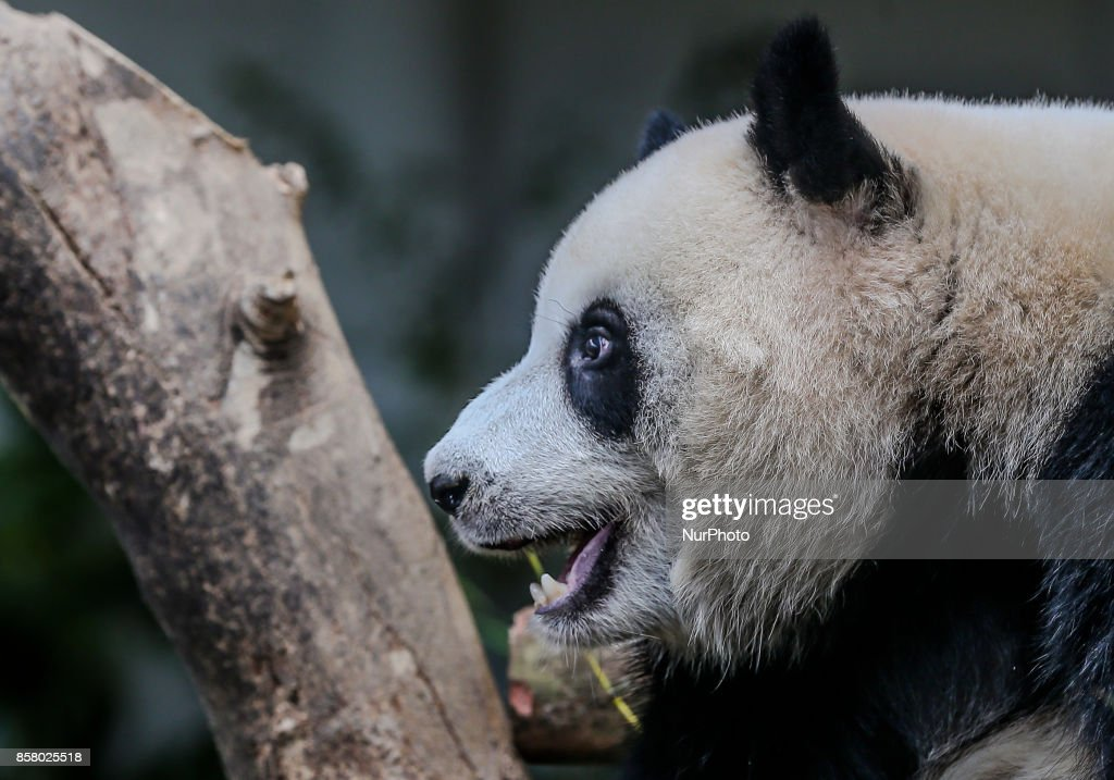 Two-year-old female giant panda cub Nuan Nuan reacts inside her enclosure at the Giant Panda Conservation Center in Kuala Lumpur, Malaysia,Oct. 5, 2017. Nuan Nuan, the offspring of panda pair Xing Xing and Liang Liang at Giant Panda Conservation Center, will soon be sent to China.The cub will be returned to China as Malaysia was only given the right to keep the panda, for two years after birth.