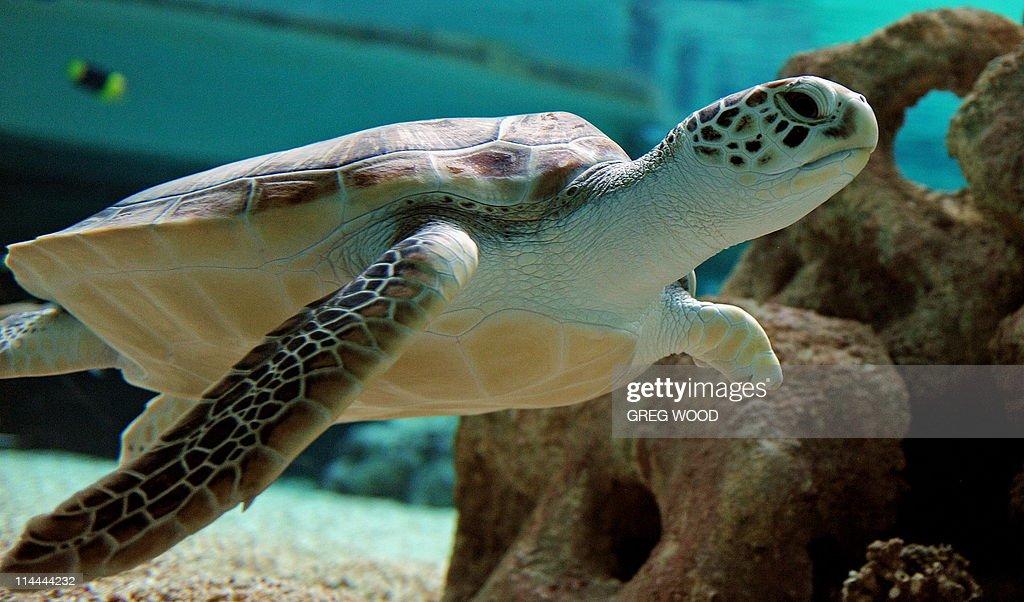 "Two-year-old Green Sea Turtle ""Sea Biscu : News Photo"