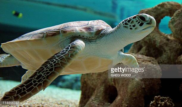 Twoyearold Green Sea Turtle Sea Biscuit with her front left flipper missing swims in a tropical reef aquarium at Oceanworld Manly north of Sydney on...