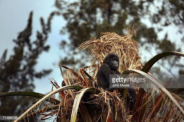 Twoyearold lowland gorilla orphan Serufuli sits perched atop a palm tree July 18 2006 at the Diane Fossey gorilla center in Goma in the eastern...
