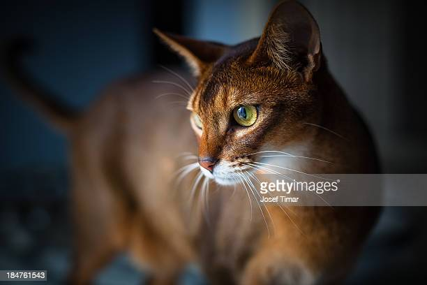 Two-year-old ruddy male Abyssinian cat