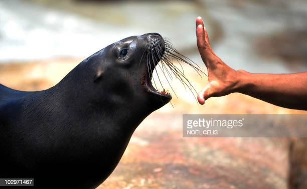 A twoyearold South American sea lion opens its mouth after eating a fish at the Manila Ocean Park in Manila on July 19 2010 AFP PHOTO/NOEL CELIS