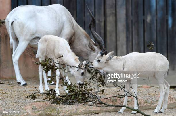 Twoyoung white Addax desert antelopes eat leaves in the outdoor enclosure at the zoo in Hannover Germany 30 June 2016 In total two baby antelopes...