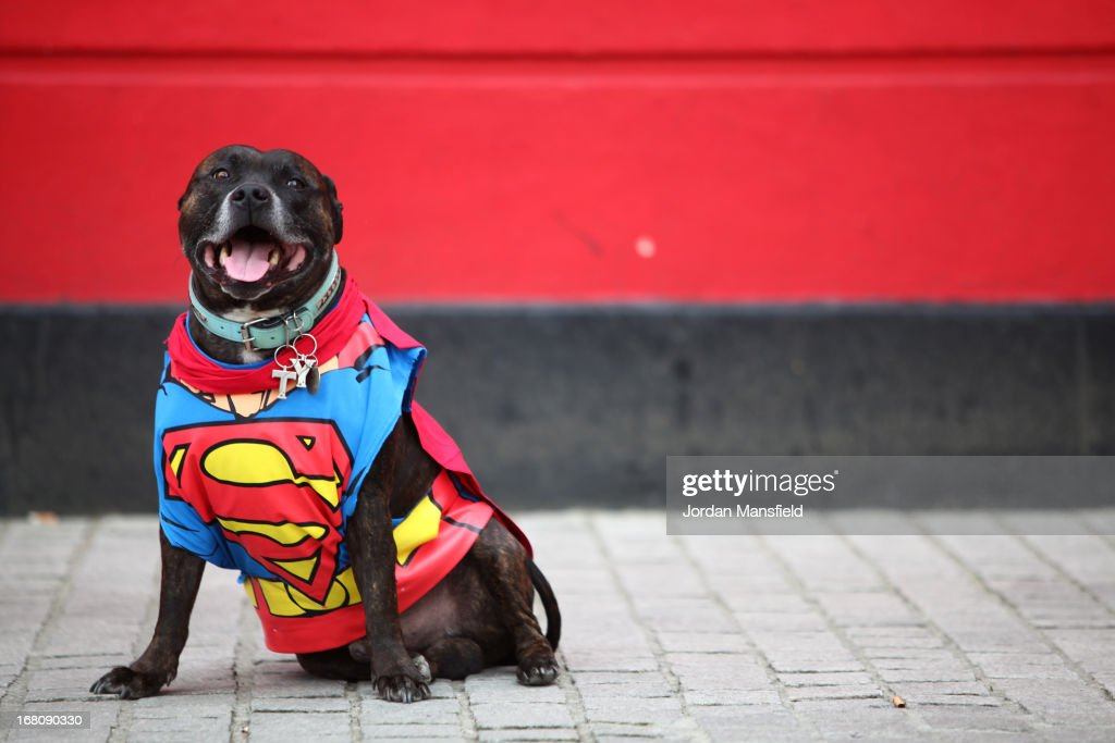 Ty, a Staffordshire Bull Terrier is dressed up as the character Superman on May 5, 2013 in London, England. Enthusiasts gathered at the Picture House in Stratford to parade their dogs dressed up as famous Sci-Fi characters as part a London-wide event called Sci-Fi London.