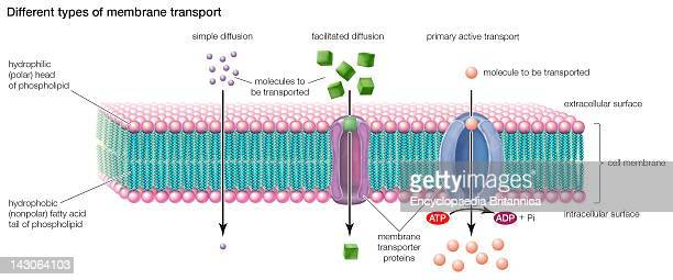 Types Of Transport Across The Cell Membrane Include Simple Diffusion Facilitated Diffusion And Primary Active Transport