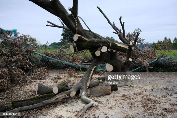 typhoon damage - snag tree stock pictures, royalty-free photos & images