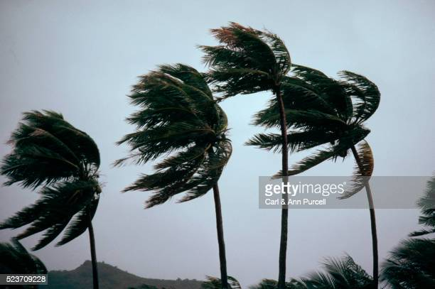 typhoon winds blowing coastal palms - orkaan stockfoto's en -beelden