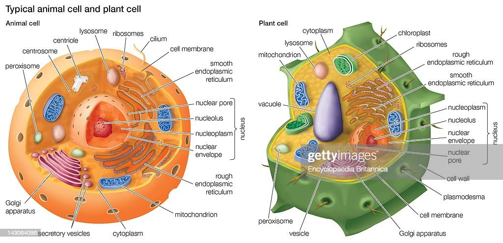 Lysosome Stock Photos And Pictures Getty Images