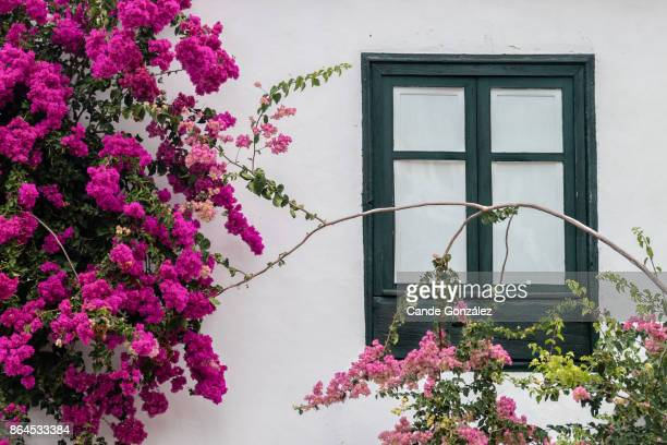 typical canarian house with its bougainvillaea - bougainville stock photos and pictures