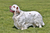 Typical Clumber Spaniel in the garden