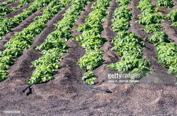 typical crops of potatoes in volcanic ash with irrigation for drop to drop, region la geria,  lanzarote, canary islands, spain - semente imagens e fotografias de stock