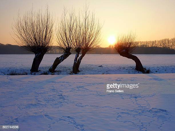 Typical Dutch winter landscape with pruned willows