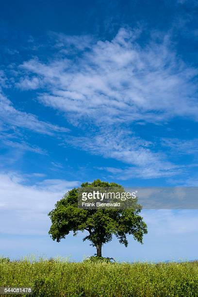 Typical green Tuscany landscape in Val dOrcia with a single tree on a field and blue sky