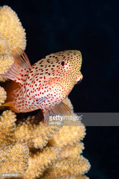 Typical of this family the blackside hawkfish Paracirrhites forsteri has thick spines in it's pectoral fins to aid staying in place on it's coral...