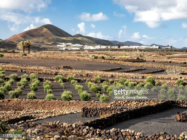 typical olives tree in dry cultivation in volcanic ash, lava, region la geria,  lanzarote, canary islands, spain - lanzarote stock pictures, royalty-free photos & images