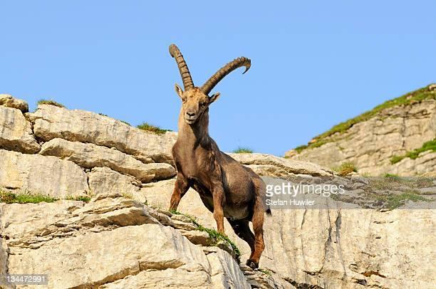 Typical pose of an alpine ibex (Capra ibex)