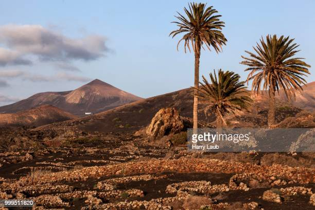 Typical vineyards in dry cultivation in volcanic ash, evening light, wine-growing region La Geria, Lanzarote, Canary Islands, Spain