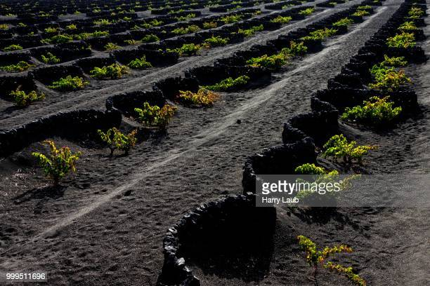Typical vineyards in dry cultivation in volcanic ash, evening light, vinyard, wine-growing region La Geria, Lanzarote, Canary Islands, Spain