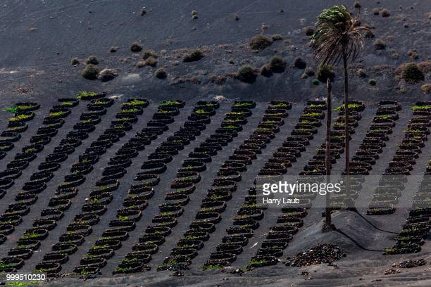 Typical vineyards in dry cultivation in volcanic ash, lava, palm trees, vineyards La Geria, Lanzarote, Canary Islands, Spain
