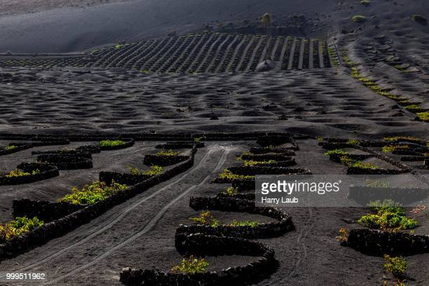 Typical vineyards in dry cultivation in volcanic ash, lava, wine-growing region La Geria, vines, Lanzarote, Canary Islands, Spain