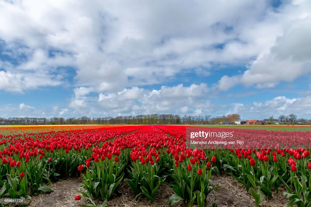 Typically Dutch landscape beauty in spring- Flowering red tulips dominating the landscape. : Stock Photo