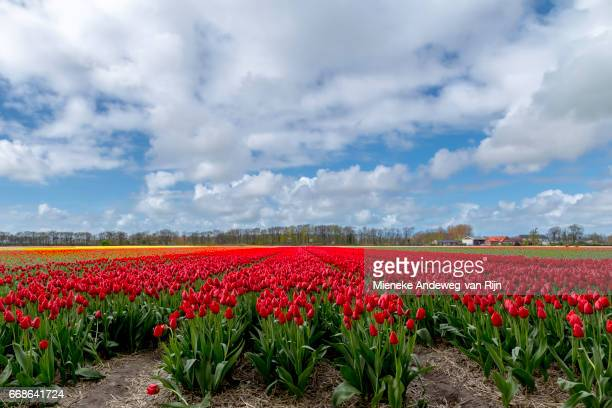 typically dutch landscape beauty in spring- flowering red tulips dominating the landscape. - kleurenfoto stock pictures, royalty-free photos & images