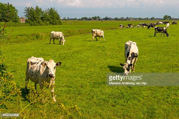 A typically Dutch scene: Flat countryside, flocked by Fresian cows, Utrecht Province, The Netherlands.