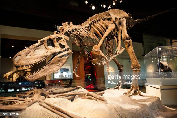 tyrannosaurs rex dinosaur - field museum of natural history stock pictures, royalty-free photos & images