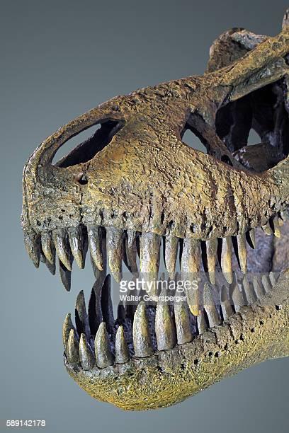 tyrannosaurus rex, fossil - fossil fotografías e imágenes de stock