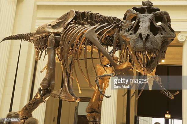 Tyrannosaurus rex named Sue at the Field Museum of Natural History in Chicago in 2003