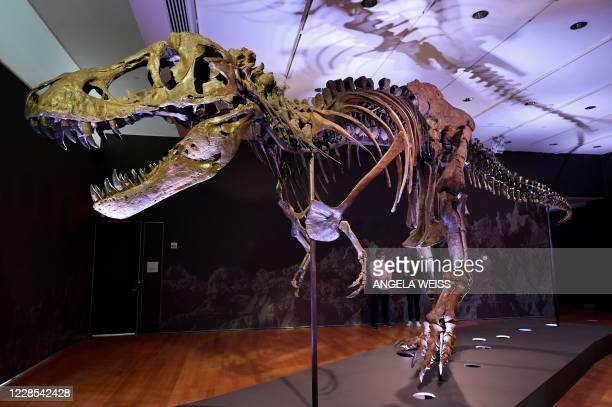 Tyrannosaurus rex skeleton, named STAN is on display during a press preview at Christie's Rockefeller Center on September 15, 2020 in New York City....