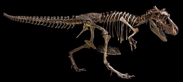 Tyrannosaurus Rex skeleton on isolated background 861213042
