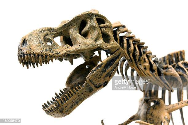 tyrannosaurus rex skeleton - animal bones stock photos and pictures