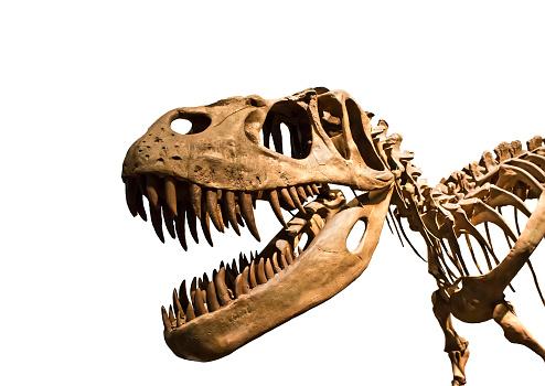 Tyrannosaurus Rex skeleton 538180145