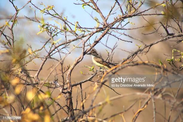 Tyrant Flycatcher (Myiarchus sp.)