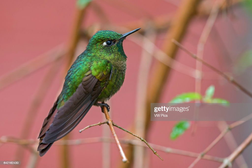 Tyrian Metaltail : News Photo