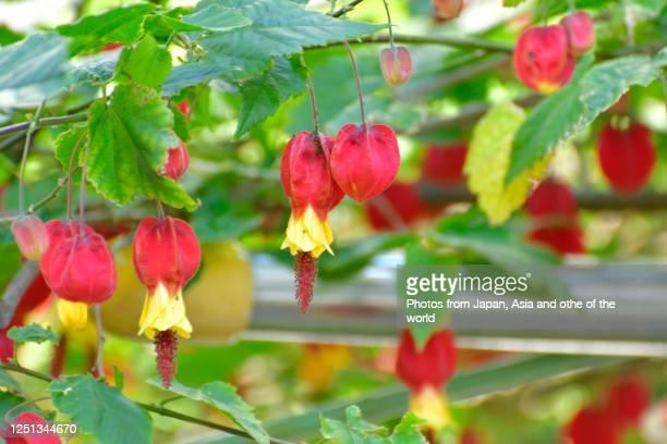 tyrolean lamp / abutilon megapotamicum flower - hermaphrodite stock-fotos und bilder