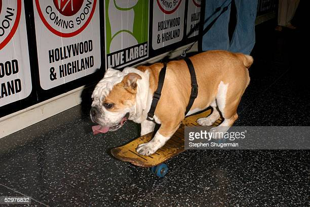Tyson the Skateboarding Bulldog attends the Premiere of TriStar Pictures Lords Of Dogtown at the Mann's Chinese Theater on May 24 2005 in Hollywood...