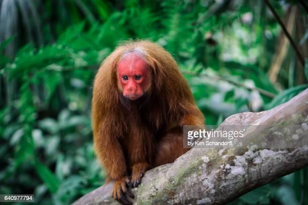 Uakari monkey looking