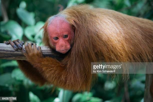 Uakari monkey resting