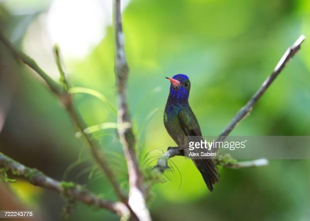 'A white-chinned sapphire hummingbird, Hylocharis cyanus, in the Atlantic rainforest.'