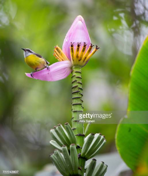 'A bananaquit, Coereba flaveola, feeding from a banana flower in the Atlantic rainforest.'